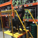 Patenaude takes Baso to stores like Home Depot to get him socialized.