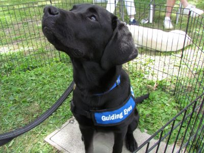 Glenna, a Guiding Eyes for the Blind Dog