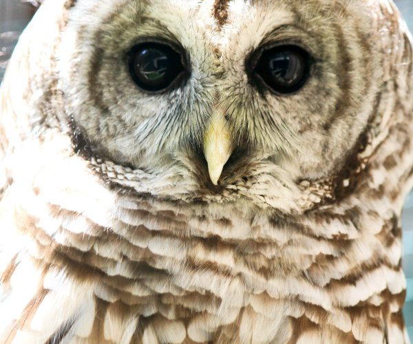 Click the Barred Owl