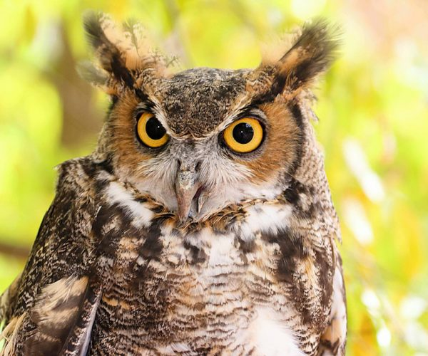 Hooty the Great Horned Owl
