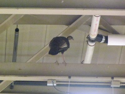 Turkey in WHS Field House 0841