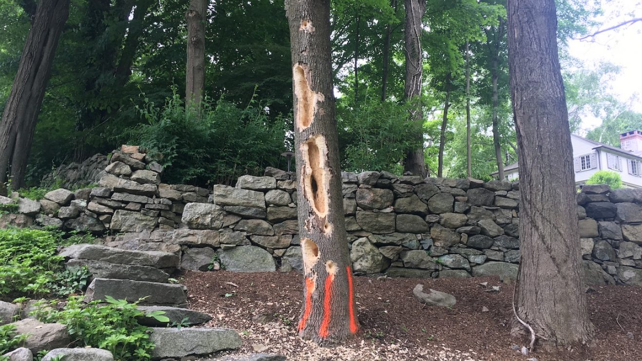 Nature in Wilton:  If a Woodpecker Did Peck Wood, Would it Bring Down a Wilton Center Tree? [VIDEO]