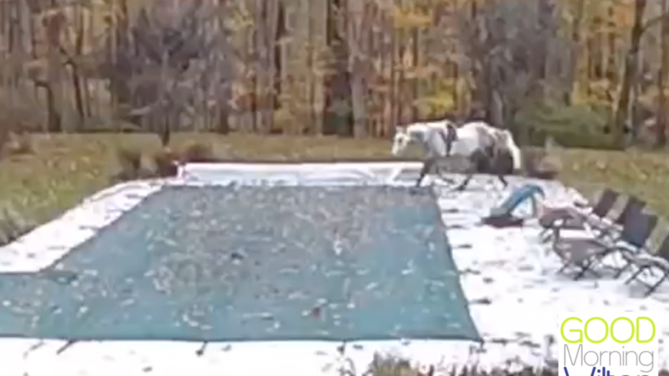 Dramatic Video Captures North Wilton Incident of Horse Falling into Pool